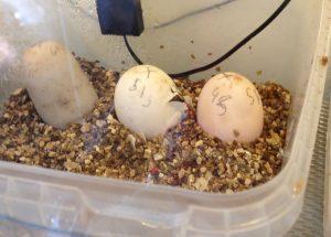 Hatchlings_6